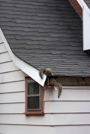 Squirrels squirrelsenteringatticg solutioingenieria Images