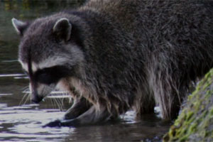 Ohio raccoons and bats removal from attic for Do raccoons eat fish