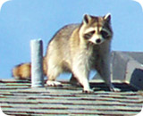 wildlife-raccoon.jpg